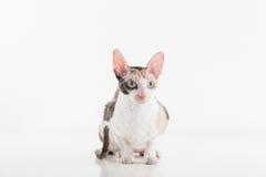 Neugieriger kornischer Rex Cat Lying auf der weißen Tabelle Weißer Wandhintergrund Langes Heck reflexion Schauen recht Lizenzfreie Stockbilder