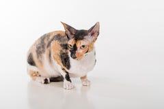 Neugieriger kornischer Rex Cat Sitting auf dem weißen Schreibtisch Weißer Hintergrund Gerade schauen Porträt Lizenzfreies Stockfoto