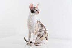 Neugieriger kornischer Rex Cat Stand auf der weißen Tabelle Weißer Wandhintergrund Langes Heck reflexion Schauen recht Lizenzfreies Stockbild