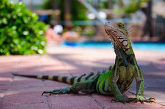 Neugieriger Leguan Stockbild