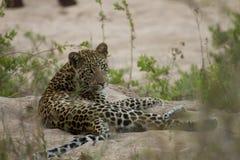 Neugieriger Leopard Stockbild