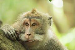 Neugieriger lustiger Lebensraum der wild lebenden Tiere des wilden Affegesichtes Stockfoto