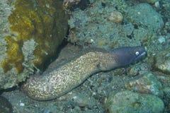 Neugieriger Murena-Aal weg von der Feldgeistlichen Burgos, Leyte, Philippinen Stockfotos