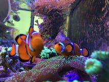 Neugieriger Nemo Playing auf einem wirklichen Aquarium stockbild