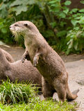 Neugieriger Otter Lizenzfreie Stockfotografie