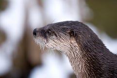 Neugieriger Otter Lizenzfreie Stockbilder
