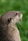 Neugieriger Otter. Lizenzfreies Stockfoto