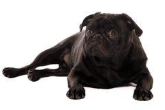 Neugieriger Pug Stockbilder