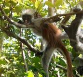 Neugieriger rauhaariger Affe auf einem Baum im Bucht-Nationalpark Jozani Chwaka Lizenzfreie Stockfotos