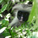Neugieriger rauhaariger Affe auf einem Baum im Bucht-Nationalpark Jozani Chwaka Stockfotos