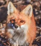Neugieriger roter Fox - Vulpes lizenzfreie stockbilder