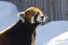 Neugieriger roter Panda, der oben schaut stockbilder