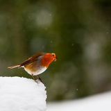Neugieriger schauender Robin im Schnee Stockfoto