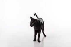 Neugieriger schwarzer orientalischer Shorthair Cat Standing auf weißer Tabelle mit Reflexion Weißer Hintergrund Lizenzfreie Stockfotografie