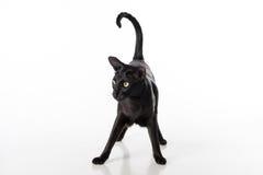 Neugieriger schwarzer orientalischer Shorthair Cat Standing auf weißer Tabelle mit Reflexion Weißer Hintergrund Stockbild
