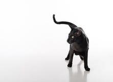 Neugieriger schwarzer orientalischer Shorthair Cat Standing auf weißer Tabelle mit Reflexion Weißer Hintergrund Langes Heck Lizenzfreies Stockfoto