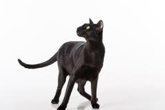 Neugieriger schwarzer orientalischer Shorthair Cat Standing auf weißer Tabelle mit Reflexion Weißer Hintergrund Nach links schaue Lizenzfreie Stockfotos
