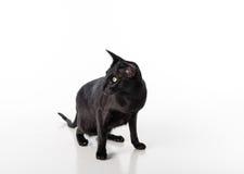 Neugieriger schwarzer orientalischer Shorthair Cat Standing auf weißer Tabelle mit Reflexion Weißer Hintergrund Nach links schaue Stockfotos