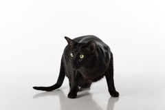Neugieriger schwarzer orientalischer Shorthair Cat Standing auf weißer Tabelle mit Reflexion Weißer Hintergrund Nach links schaue Lizenzfreie Stockfotografie