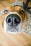 Neugieriger Spürhund Stockfotografie