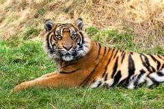 Neugieriger Sumatran Tiger, der im Gras liegt lizenzfreie stockbilder