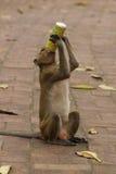 Neugieriger und durstiger Affe Lizenzfreie Stockfotografie