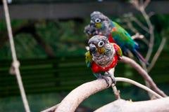 Neugieriger und freundlicher Papagei lizenzfreies stockbild