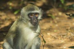 Neugieriger vervet Affe hat seinen offenen Mund Stockbild