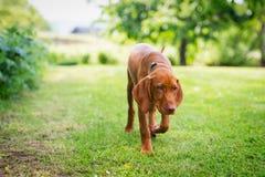Neugieriger vizsla Welpe, der um Garten, Vorderansicht geht stockfotos