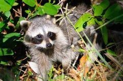 Neugieriger Waschbär im Sumpfgebiet-Nationalpark Lizenzfreies Stockbild