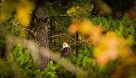 Neugieriger Weißkopfseeadler stockbilder