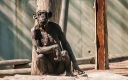 Neugieriger weiblicher Schimpanse Stockfotos