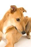 Neugieriger Windhund Lizenzfreie Stockfotos