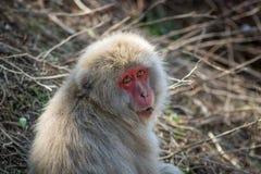 Neugieriges Affe-Gesicht Lizenzfreie Stockbilder