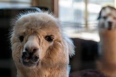 Neugieriges Alpaka lizenzfreies stockbild