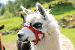 Neugieriges Alpaka in Norwegen stockfoto