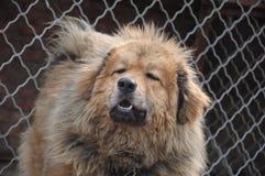 Anstarrenhund Lizenzfreie Stockfotos