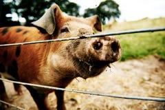 Neugieriges braunes Schwein Stockfoto