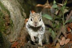 Neugieriges Eichhörnchen stockbild