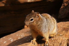 Neugieriges Eichhörnchen 2 Stockfotografie