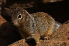 Neugieriges Eichhörnchen 4 Stockbild
