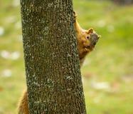 Neugieriges Eichhörnchen Stockfotos