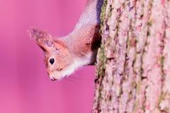 Neugieriges Eichhörnchen Lizenzfreie Stockbilder