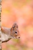 Neugieriges Eichhörnchen Lizenzfreies Stockbild