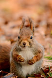 Neugieriges Eichhörnchen stockfoto