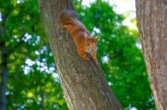 Neugieriges Eichhörnchen Stockfotografie