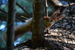 Neugieriges Eichhörnchen auf einer Kiefernniederlassung stockbilder