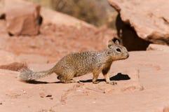 Neugieriges Eichhörnchen auf Felsen bei Grand Canyon Stockbilder