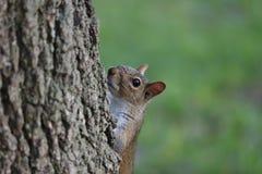 Neugieriges Eichhörnchen, das heraus von hinten einen Baumstamm schaut Lizenzfreie Stockbilder