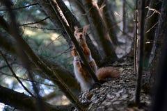 Neugieriges Eichhörnchen hoch auf einem Baumast stockfotografie